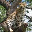 news_leopard_lrg