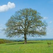 oak-tree_lrg