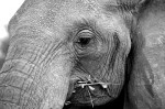 elephant_mag