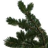 evergreen-tree-branch-pine-leaf-twig-nordic