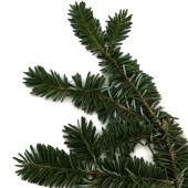 evergreen-tree-branch-pine-leaf-twig-nordic