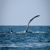 black fin whale sea