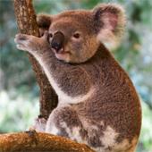 australia_koala_170sq