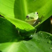 frog_lrg