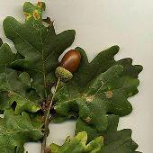 oak tree leaf acorns