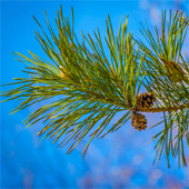 nordic_tree_pine