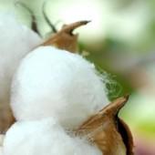 plains cotton monomoy