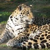 jaguar-1-426091-m