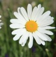 daisy-daisy-1426253-m